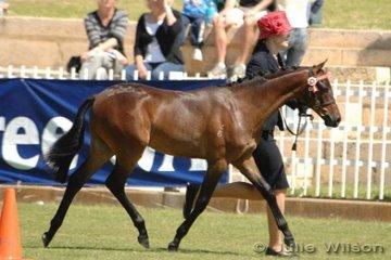 Reserve Champion Riding Pony Colt, Gem Park Debonare (Sire; Yartarka Park Chipmonk Dam; Langtree Wild Romance) owned by Elleen Morris and shown by Joanne Endersby.