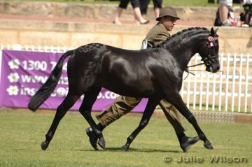 Champion Riding Pony Colt, Beckworth Rising Shadow (Sire; Rendene Rising Sun Dam; Native Rose of Beckworth) shown by Anthony Tropiano and owned by Dianne Broadwith.