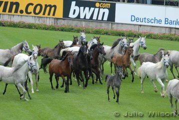 The almost capacity crowd (40.000) were delighted with the entrance of these mares and foals.