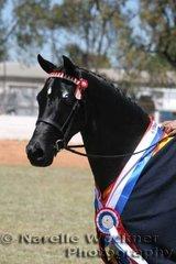 Champion Intermediate Large Pony 'Kolbeach Stilletto' ridden by Adam Oliver & owned by Barbara Barr