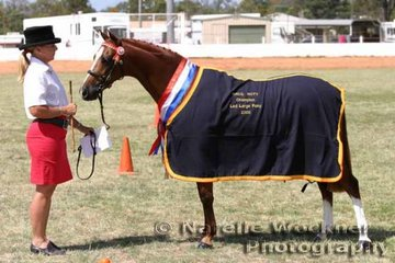 Champion Led Large Pony Of The Year 'Silkwood Fanfare' exhibited by Nici Jamieson