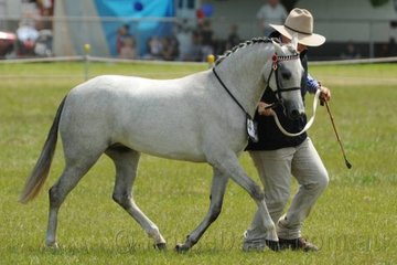 Usually pictured atop an Australian Stock Horse, Stuart Robinson did the footwork today with the O'Hagen and Robertson nomination, 'Westacres Adoration' that was declared Champion APSB Third Generation Australian Pony.