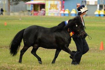 Joanne Harris from Wallington led her, 'Glenelen Crusader' to claim the Champion Led Shetland Pony Award.