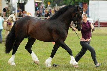 Chantelle Stocker led her impressive stallion, 'Arana Commando (imp NZ)' to take out the Champion Led Welsh Cob Award.