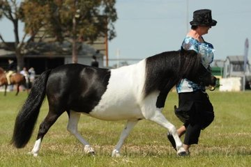 Leigh Buchanan-Gregson led her charming, 'Pilinta Park Florin' to be declared Champion mare and Supreme Champion Shetland Pony Exhibit.