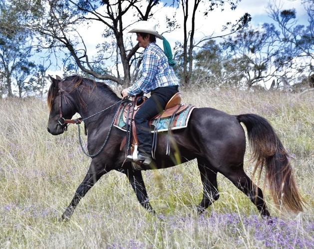 Wilga Park Silver Sabre - FOR SALE!   Morgan   Stallion