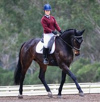 Magnificent Dressage Warmblood
