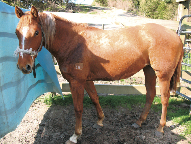 filly q86182 reining horses horse for sale in tanjil vic horse