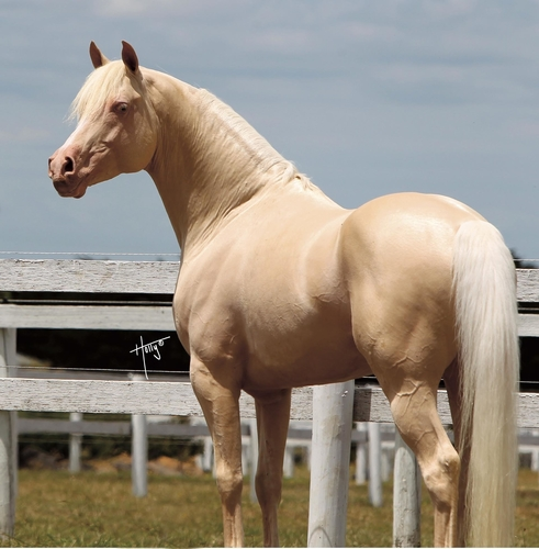 Sire: Aratahnes Excalibur, the amazing sire who produces Champion after Champion Derivative Arabians., Holly