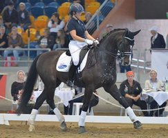 Competitive FEI Gelding