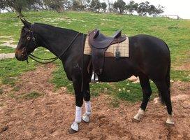 Reg Stock Horse
