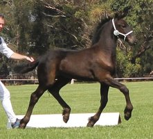 Friesian horses, Colts for sale in VIC | Horse Deals | Australia