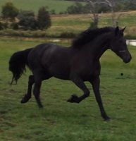 Sweetest Half Friesian Mare