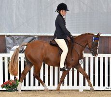 Top Large Pony Mare