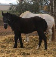 Percheron  Colt foal with Dam
