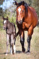 Bay Paint Mare in Foal