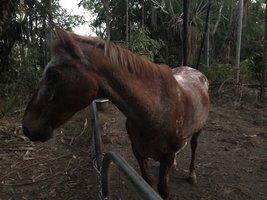 Appaloosa horses for sale | Horse Deals | Australia