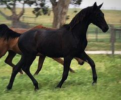 Stunning Black Morricone Filly