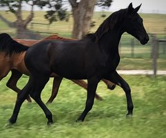Stunning Black Morricone Filly
