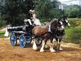 Clydesdale horses for sale | Horse Deals | Australia