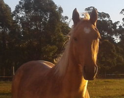 Palomino Filly By RS Chisum