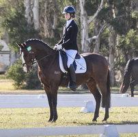 Sport pony stallion