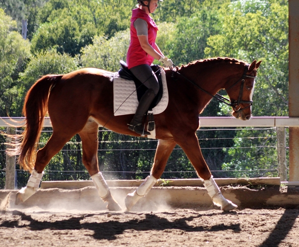 Leo has a big moving, ground covering trot.  His extended trot is wow!