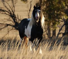 Dilute Gypsy Cob Mare In Foal
