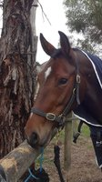Reg Irish Sport Horse