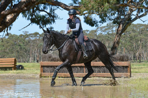 Higgins Warmblood Gelding