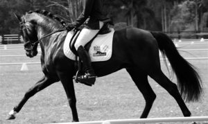 PRE Andalusian Stallion for Sale