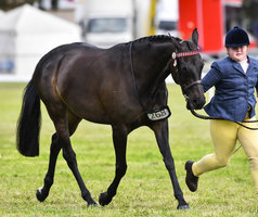 Large Show Galloway Mare
