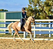 ACE Registered Palomino Mare