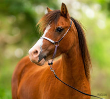 Beautiful Small Horse Mare