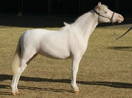 Exceptional Miniature Mare