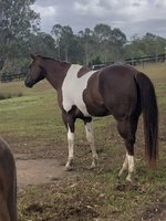 Beautiful 5 yr old Paint Mare ,