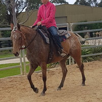 Appaloosa Quarter Horse