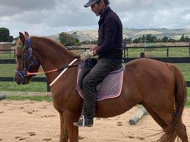 Arabian Pony / Part Welsh Gelding