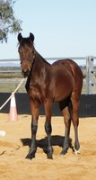 Weanling HSH Colt