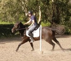 QH Cow Horse / Sporting