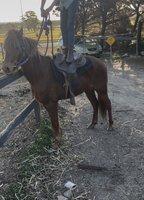 Registered Pony