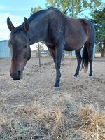 Johnny - Stock Horse x Quarter Horse
