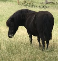In Foal to Gypsy Cob