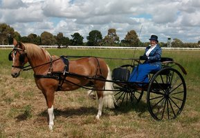 Harness Pony and Show Jinker Package