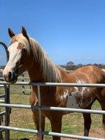 Paint Stallion PHAA Reg 11918