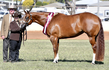 Bm subtlety owned by darryl stephens and shown by sam daley in the mare 4 years and over halter class