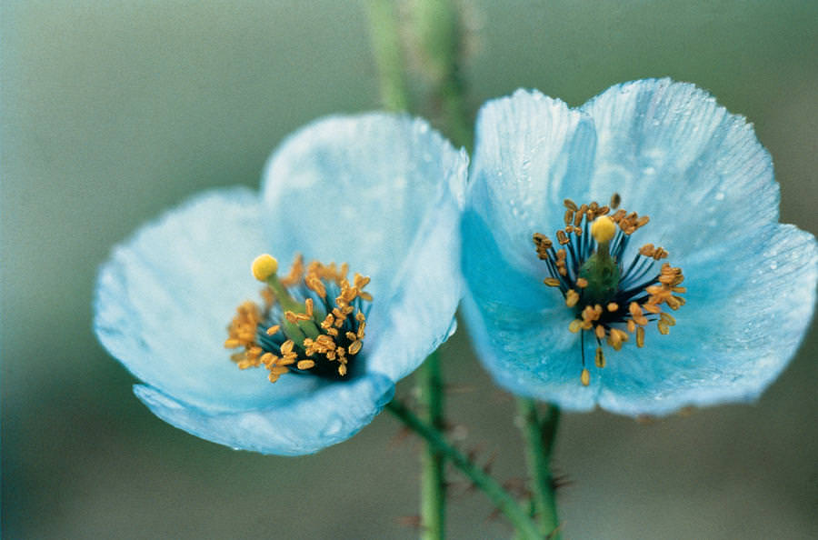 Himalayan Blue Poppy Bouquet What is the mos...