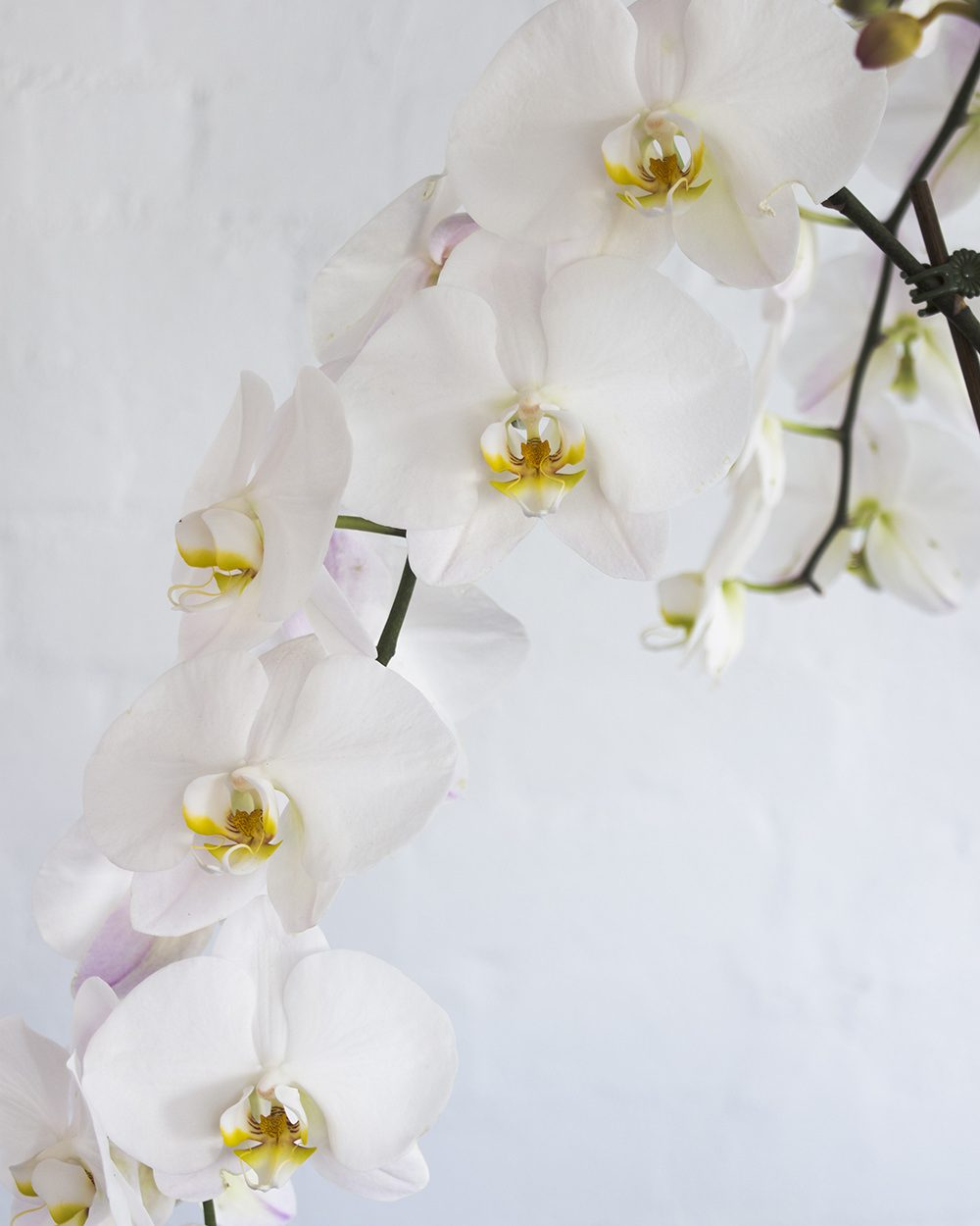 Orchids-Tall-Left