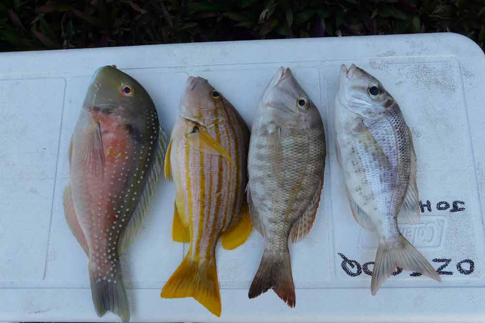 Fish Size Limits Qld