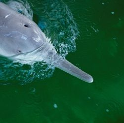 Chinese River Dolphin Declared Extinct